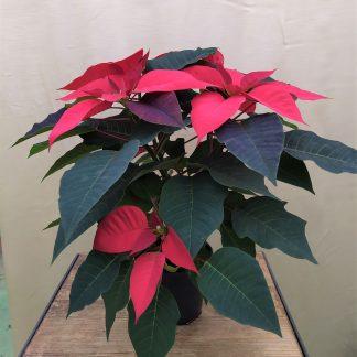 Weihnachtsstern rot 13cm Topf