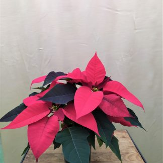 Weihnachtsstern rot 10cm