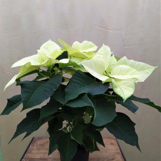 Weihnachtsstern weiß 13cm Topf